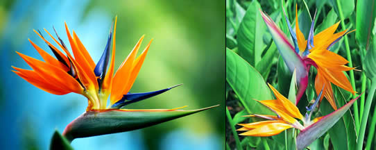colourful bird of paradise flowers