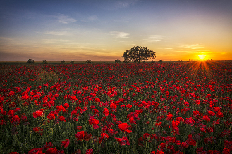 field of poppy flowers with sunset